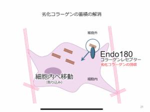 劣化コラーゲン エンドサイトーシス Endo180 メリッサエキス 丸善製薬